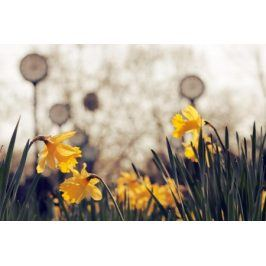 Tištěný obraz - Narcisy