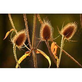 Tištěný obraz - Podzimní bodláky